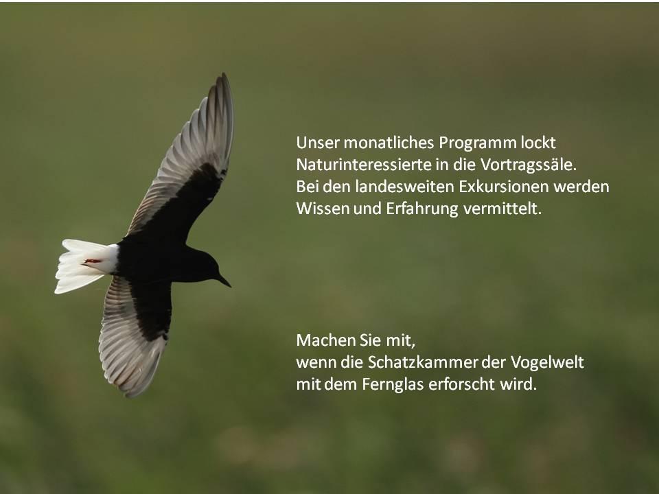 Weißflügel-Seeschwalbe (Chlidonias leucopterus) im Prachtkleid. Foto: Thomas Grüner